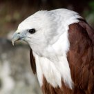 Brahminy Kite Eagle